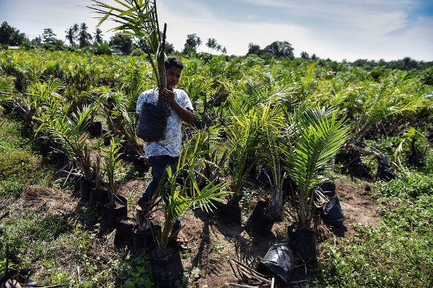 A worker prepares to plant a palm oil tree at a plantation in Meulaboh in West Aceh regency on Indonesia's Sumatra island, March 28, 2019. [AFP]