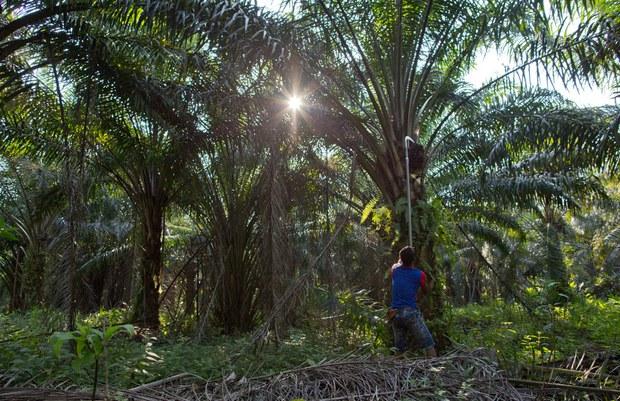 200930-MY-Palm-harvest1000