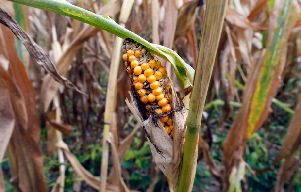 Corn that was supposed to be ready for harvest in the southern Philippine province of South Cotabato are shown with brown stalks and leaves as a result of the El Niño phenomenon, March 28, 2019. [Jeoffrey Maitem/BenarNews]