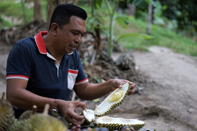 A local tourist peels durian while attending a durian festival in the Thai Deep South province of Yala, July 25, 2018. [Pimuk Rakkanam/BenarNews]