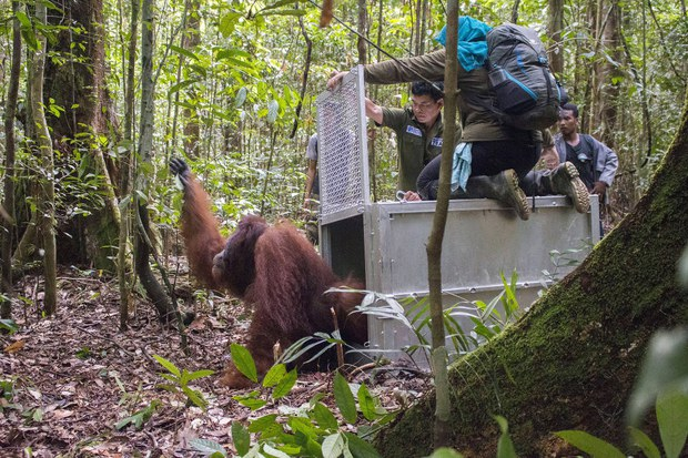 160502_ID_Orangutan_1000.jpg