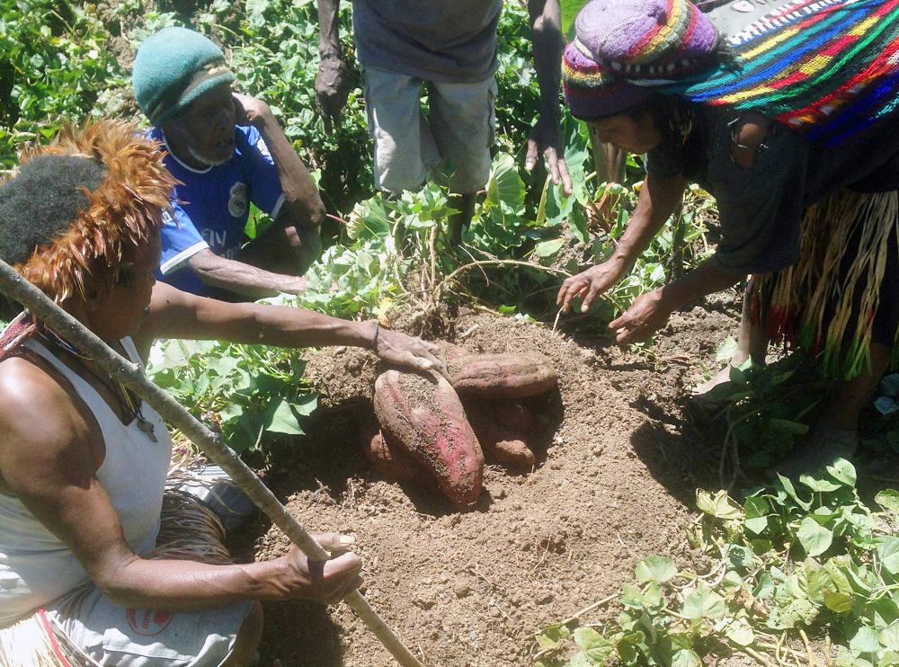 Ketika Ubi Jalar Mulai Terpinggirkan Di Pegunungan Papua