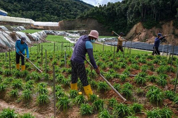 Buruh asing bekerja di sebuah ladang sayur di Cameron Highlands yang terletak di negeri Pahang, Malaysia, 7 Julai 2021.